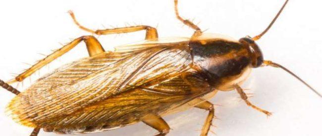kalorifer böceği, kalorifer böceğinin özellikleri, kalorifer böceği nedir