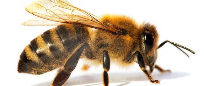 arı türleri, arı ilaçlama, arı nasıl ilaçlanır